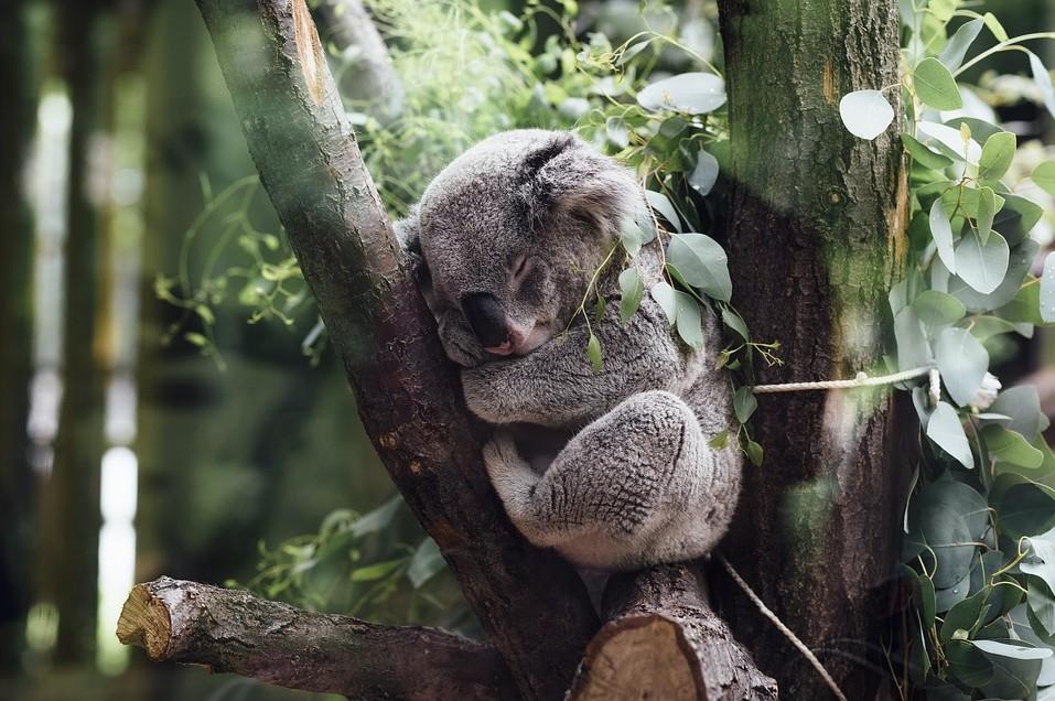 A koala sleeping on a tree