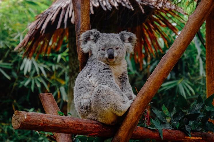 The History of Koalas
