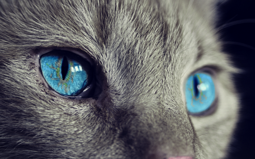cat with bright blue eyes and a grey fur