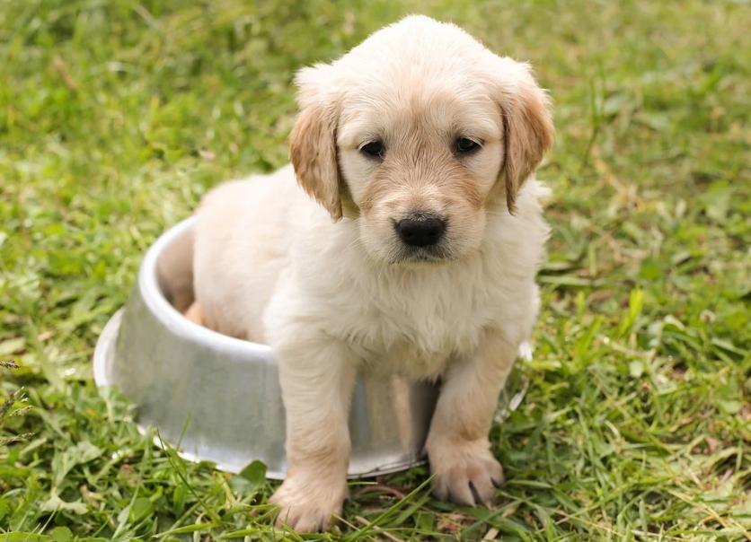 golden retriever puppy in a food bowl, grass