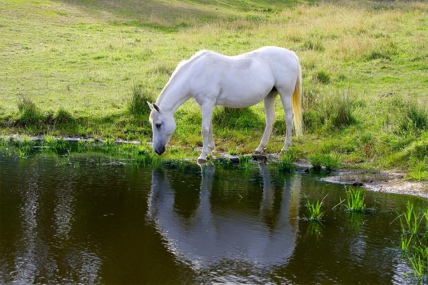 grass, water, a white horse drinking water